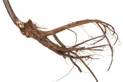 Medicinal plant. the root of elecampane Stock Photos