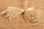 Stock Photo of sheaves of wheat on the background of wheat grains