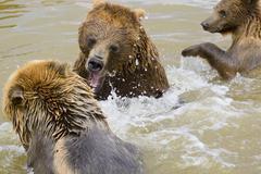 Bears fighting Stock Photos