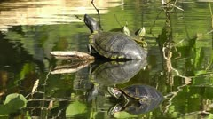 Amid Nature - Turtle Heads Everywhere, double headed turtles! Stock Footage