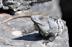 iguana close up in mexico - stock photo