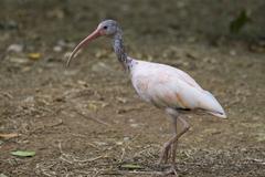 Stock Photo of scarlet ibis portrait