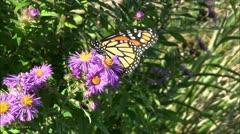 Monarch Butterfly underside view Stock Footage