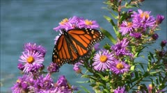 Monarch Butterfly seawater background Stock Footage