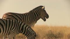 Zebras in beautiful light - stock footage