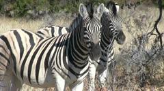 Zebras, close up - stock footage