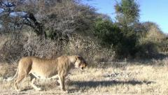 Walking lion with moving camera 2 Stock Footage