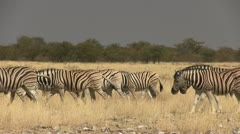 Big herd of zebras Stock Footage