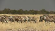 Stock Video Footage of Big herd of zebras