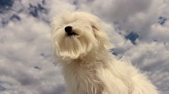 Puppy Dog Windy Day Stock Footage