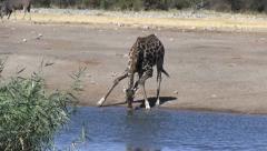 Drinking giraffe - stock footage
