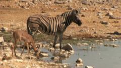 Drinking wildlife - stock footage