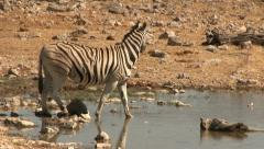 Drinking zebra Stock Footage