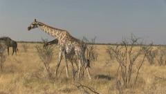 Eating giraffes - stock footage