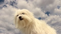Slow Motion Silky Puppy Dog Fur Blows In Wind Stock Footage