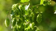 Stock Video Footage of hop