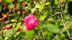 Red rose and rose hip Stock Footage