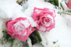 Two bright pink roses on snow Stock Photos