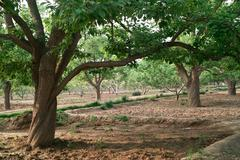 Stock Photo of pear trees