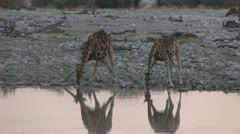 Giraffes drinking in the afternoon Stock Footage
