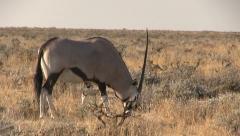Grazing oryx Stock Footage