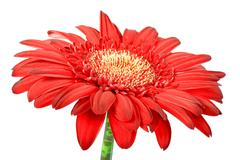 one red flower - stock photo