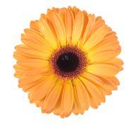 one orange flower - stock photo