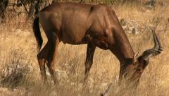 Grazing red hartebeest Stock Footage