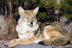 Coyote resting after hunting for a mouse Stock Photos