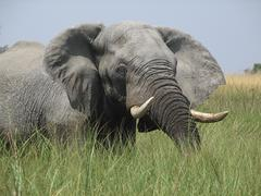 Elephant in the Okavango Delta - stock photo