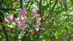 Oleander flowers in breezy day Stock Footage