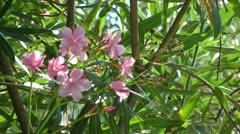 Oleander flowers in breezy day Stock Footage