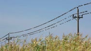 Large flock of birds on a electrical wire Stock Footage