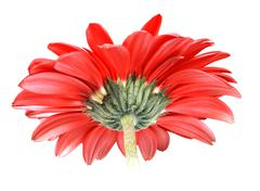 back-side of red flower - stock photo