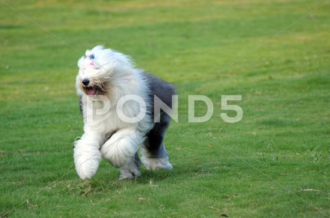 Stock photo of old english sheepdog