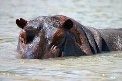 Rufiji river hippo close-up - stock photo
