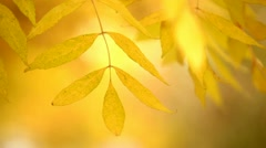 yellow autumn leaves on a tree 6 - stock footage