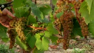 Stock Video Footage of Harvesting grapes (Muscat)