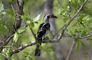 Stock Photo of Red billed Hornbill bird