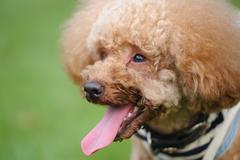 Stock Photo of poodle dog portrait