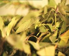 FOOD basil leaves Stock Footage
