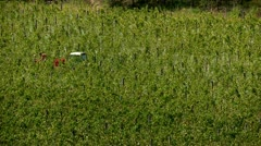 Tractor in the vineyard Stock Footage