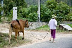 Tropical forest, Vietnamese lady and a cow at Con Dao island in Vietnam. - stock photo