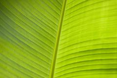 Stock Photo of banana leaf