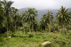 Tropical forest, palm trees and cows at Con Dao island in Vietnam. Stock Photos