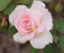 beautiful pink rose - stock photo