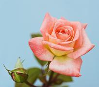 Stock Photo of beautiful pink rose