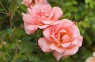 Stock Photo of beautiful pink rose