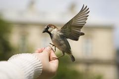 sparrows eating - stock photo