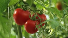 Ripe tomato zoom2 Stock Footage